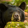 Image of Braveheart resting after mating with unknown male taken late May 2012. Braveheart was born in 2002. Ursus americanus (American Black Bear).