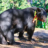 Image of Braveheart taken August 2011. Braveheart was born in 2002 and is decorated with colorful ribbons to help identity her as a collared research bear during hunting season. Ursus americanus (American Black Bear).