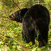 Image of unknown male who after mating with Braveheart taken late May 2012.  The male is scenting the area for the other bears.  The male appeared to be 3-4 years old.  Ursus americanus (American Black Bear).