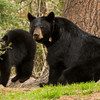 Image of Braveheart and one of her three cubs taken late April 2012.  Braveheart was born in 2002. Ursus americanus (American Black Bear).