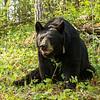 Image of Braveheart taken May 2012.  Braveheart was born in 2002. Ursus americanus (American Black Bear).