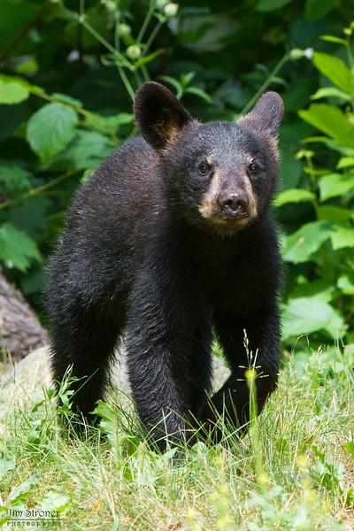 Image of Braveheart's cub taken July 2011. The cubs were born in January 2011. Ursus americanus (American Black Bear).