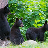 Image of Braveheart's three cubs reacting to a unknown noise in the distance taken July 2011. Cubs were born in January 2011. Ursus americanus (American Black Bear).