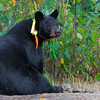 Image of Braveheart taking September 2011. Braveheart was born in 2002 and is decorated with colorful ribbons to help identity her as a collared research bear during hunting season. Ursus americanus (American Black Bear).