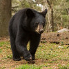Image of Braveheart yearling taken late May 2012.  The yearling was born in 2011. Ursus americanus (American Black Bear).