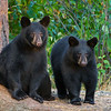 Image of two of Braveheart's three cubs taking September 2011. The cubs were born in January 2011. Ursus americanus (American Black Bear).