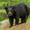 Image of Colleen taken late July 2012. Colleen was born in 2003. Ursus americanus (American Black Bear).