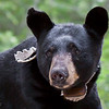 Image of Colleen taken July 2010. Colleen was born in 2003. Ursus americanus (American Black Bear).