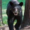 Image of Cookie taken July 2011. Cookie was born in 2005.   Ursus americanus (American Black Bear).