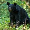 Image of Cookie taken early August 2012. Cookie was born in 2005.  Ursus americanus (American Black Bear).