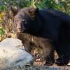 Image of Daisy taken September 2011. Daisy was born in January 2011.  Ursus americanus (American Black Bear).