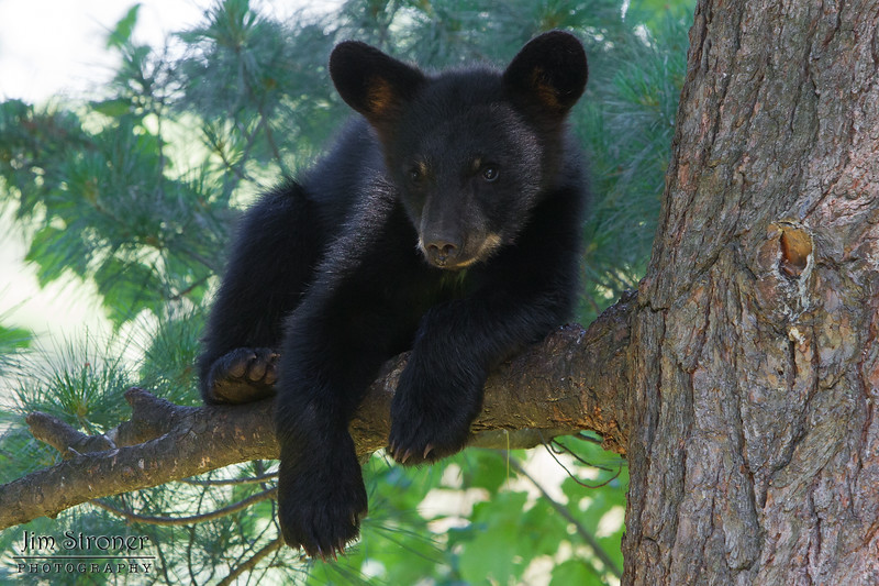 Image of Bow's female cub Daisy resting in a tree taken July 2011. Daisy and her brother Drew were born in January 2011. Ursus americanus (American Black Bear).