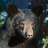 Image of Demi taken August 2011. Demi is not a member of the Shadow clan but I've included her here. Ursus americanus (American Black Bear).