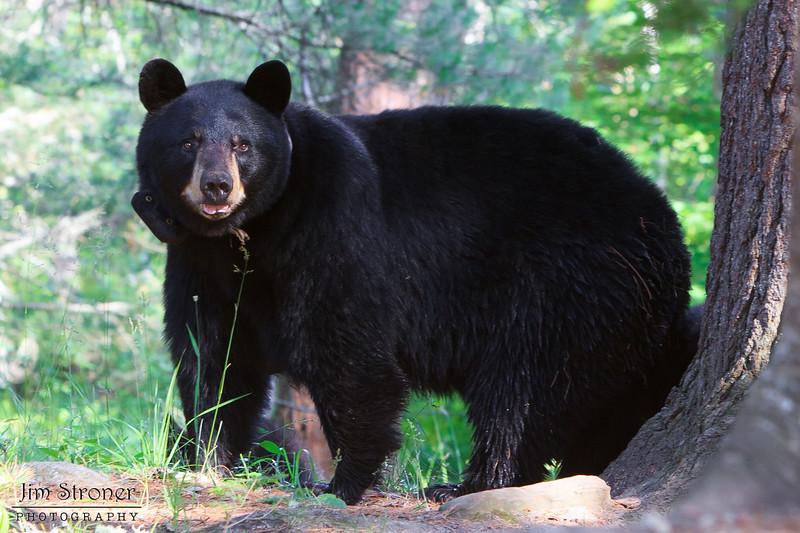 Image of Donna taken July 2011. Donna was born in 2000. Ursus americanus (American Black Bear).