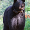 Image of Blackheart's daughter Donna taken July 2011. Donna was born in 2000. Ursus americanus (American Black Bear).