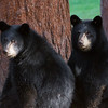 Image of two of Donna's three cubs taking August 2011. Cubs were born in 2011. Ursus americanus (American Black Bear).