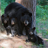 Image of Donna and her 2011 cubs Wendie, Wiggins and Willow taken July 2011. Donna was born in 2000 and her cubs in 2011. Ursus americanus (American Black Bear).