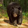 Image of Donna taken June 2012.  The Donna was born in 2000. Ursus americanus (American Black Bear).