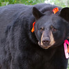 Image of Donna taking August 2011. Donna was born in 2000 and is decorated with colorful ribbons to help identity her as a collared research bear during hunting season. Ursus americanus (American Black Bear).
