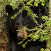 Image of Dot watching me from under a fur tree taken April 2012.  Dot was born in 2000. Ursus americanus (American Black Bear).