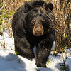 Image of Dot approaching in the snow taken April 2012.  Dot was born in 2000. Ursus americanus (American Black Bear).