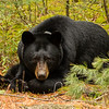 Image of Dot resting at the edge of a cedar swamp taken May 2012.  Dot was born in 2000. Ursus americanus (American Black Bear).