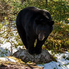 Image of Dot taken April 2012.  We approached Dot with the sun to out backs but she circled around to check us out so I took a few backlit photo's that turned out nice.   Dot was born in 2000. Ursus americanus (American Black Bear).