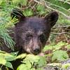 Image of June's female cub Ember taken late June 2013.  Ember was born in January 2013. Ursus americanus (American Black Bear).