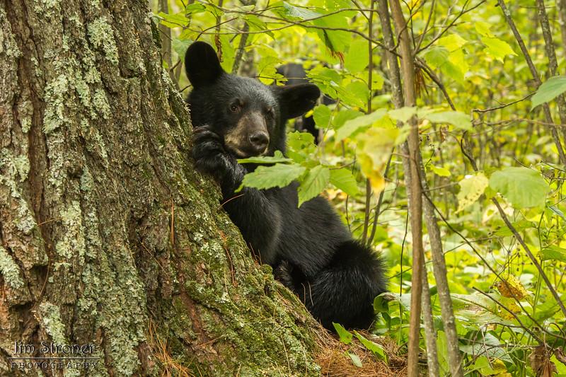 Image of June's daughter Ember taken early September 2013.  Ember was born in 2013. Ursus americanus (American Black Bear).