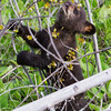 Image of Faith checking out quaking aspen leaves taken May 2011. Faith was spending the day with her mother Lily and sister Hope in a clear cut looking for ant larvae. Faith was born in 2011. Ursus americanus (American Black Bear).