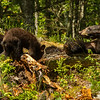 Image of Jewel resting while her two cubs Fern and Herbie forage taken June 2012.  Jewel was born in 2009. Ursus americanus (American Black Bear).