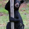 Image of Colleen's daughter Gina taken July 2011.   Gina was born in 2009.  Ursus americanus (American Black Bear).