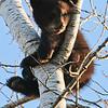 Image of June's daughter Jewel taken May 2009. Jewel was born in January 2009. Ursus americanus (American Black Bear).