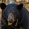 Image of Jewel taken April 2012.  Jewel was born in 2009. Ursus americanus (American Black Bear).
