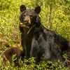 Image of Jewel on sentry while her two cubs Fern and Herbie forage taken June 2012.  Jewel was born in 2009. Ursus americanus (American Black Bear).