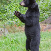 Image of Jewel taken August 2010.   Jewel were born in January 2009. Ursus americanus (American Black Bear).