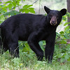Image of Jewel taken July 2011.   Jewel were born in January 2009. Ursus americanus (American Black Bear).