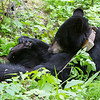 Image of Jo killing time while her cub explores nearby taken June 2011. Jo was born in 2008. Ursus americanus (American Black Bear).