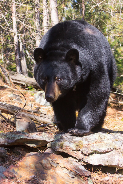 Image of Jo taken April 2011 shortly after leaving her den. Jo was born in 2008. Ursus americanus (American Black Bear).