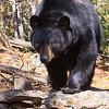 Image of Jo taken April 2011 shortly after leaving her den. Jo was born in 2008. Ursus americanus (American Black Bear).