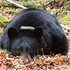 Image of Jo resting in a bed of leaves taken October 2011. Black bears in Minnesota spend a lot of time resting this time of year as they prepare for entering a den. Jo was born in 2008. Ursus americanus (American Black Bear).