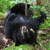 Image of Jo taken June 2011.  She trying to rest but being harassed by flies.  Jo was born in 2008. Ursus americanus (American Black Bear).