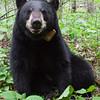 Image of Jo taken June 2011. Jo was born in 2008. Ursus americanus (American Black Bear).