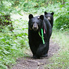 Image of Jo and cub taken August 2011. Jo was born in 2008 and is decorated with colorful ribbons to help identity her as a collared research bear during hunting season. Ursus americanus (American Black Bear).