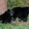 Image of two of Juliet's cubs taken September 2010.  Winter coats have started growing in and the cubs are putting on weight before entering the den.   The cubs were born in 2010. Ursus americanus (American Black Bear).