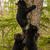 Image of Juliet's three cub's taken early April 2012. The cubs are still too small to travel far but water has forced them out of the den.     Ursus americanus (American Black Bear).