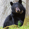 Image of June checking me out from behind the tree she is resting beside taken May 2011. June was born in 2001. Ursus americanus (American Black Bear).