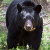 Image of June taken May 2011.  June has just returned from foraging and is checking us out.   Her cubs are sleeping in a tree nearby.   June was born in 2001. Ursus americanus (American Black Bear).