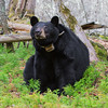 Image of June taking a break from grooming to check on her cubs sleeping in a tree nearby.  Image taken May 2011. June was born in 2001. Ursus americanus (American Black Bear).