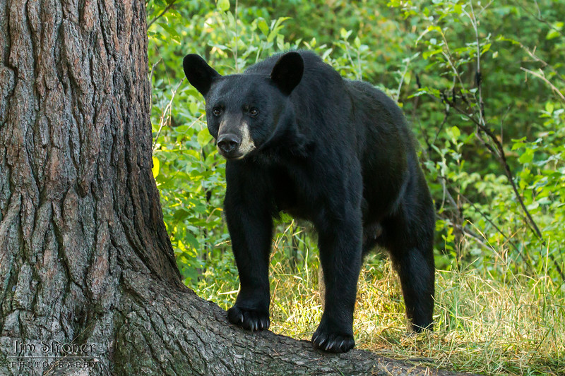 Image of Keefer taken August 2012.  Keefer was born 2004.  Ursus americanus (American Black Bear).